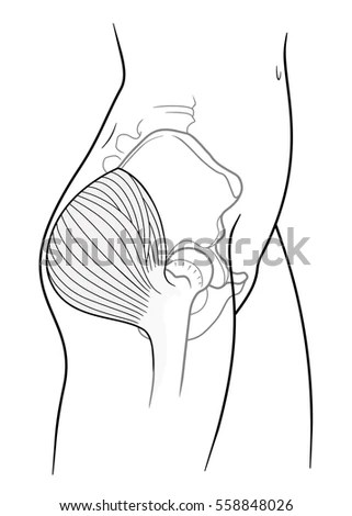 Pelvic Stock Images, Royalty-Free Images & Vectors