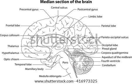 Human Brain Brain Median Section Brain Stock Vector