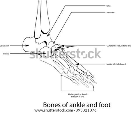 Human Body Bones Study Guide, Human, Free Engine Image For