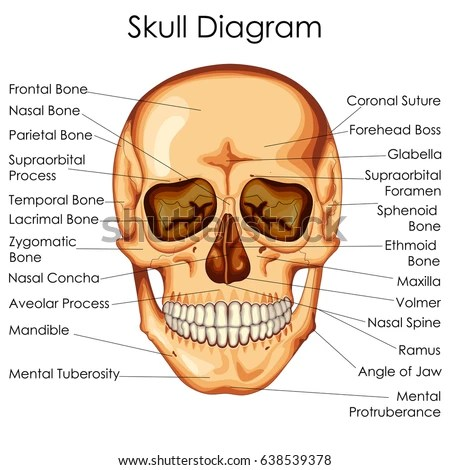human skull bones diagram labeled pioneer avh 288bt qual formato de video medical education chart biology stock vector 638539378 - shutterstock