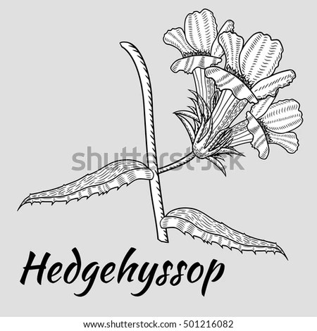 Water Hyssop Stock Images, Royalty-Free Images & Vectors