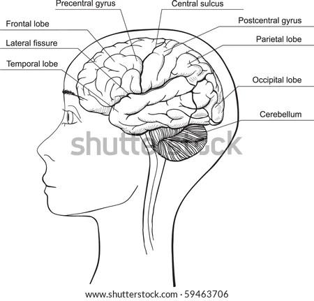Midsagittal Section Human Brain Vector Stock Vector
