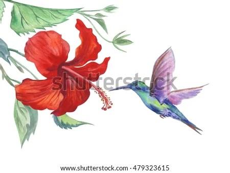 hibiscus hummingbird white background