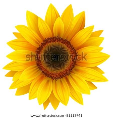 sunflower stock royalty-free