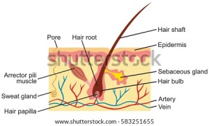 Hair Human Skin Anatomy Illustration Stock Vector (Royalty
