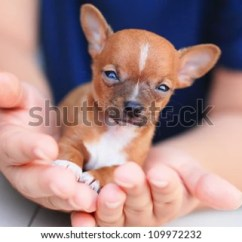 Bathtub Sitting Chair For Baby Chinese Wedding Chihuahua Puppy Stock Images, Royalty-free Images & Vectors | Shutterstock