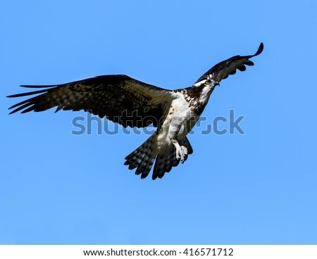 Osprey Flight Landing Stock Photo 416571709 Shutterstock