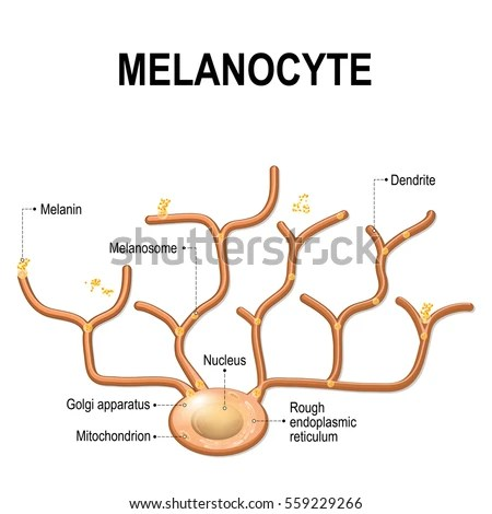 Melanocyte Stock Images RoyaltyFree Images Vectors