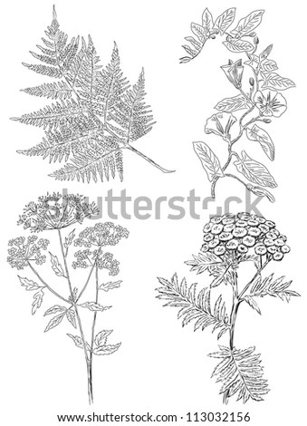 Sandalwood Leaves Buds Vintage Engraved Illustration Stock
