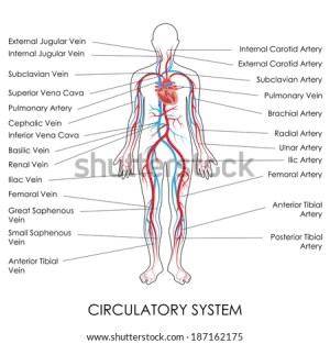 Vector Illustration Diagram Circulatory System Stock