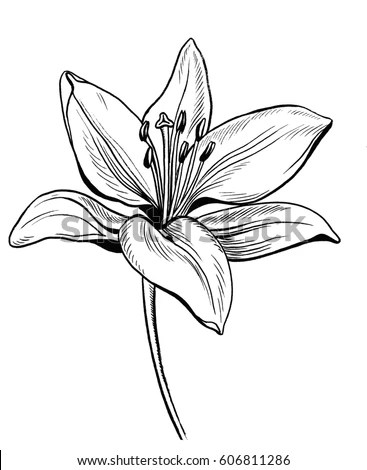 Lily Flower Stock Images Royalty Free Images Amp Vectors
