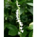 山野草の苗/ネジバナ(モジズリ):白花モジズリ2.5号ポット(国産)