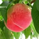 【ふるさと納税】【2022年発送】桃農家さん特選 山梨県産