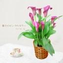 送料無料 2021母の日ギフト プレゼント 花 鉢植え 華やかピンクのカラー 珍しい