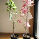 母の日のプレゼンに2020年4月〜5月に開花自宅のシンボルツリーに花水木苗 ハナミズキ 白花と赤花で紅白の花水木セット シンボルツリー 【ハナミズキ 苗木】 贈り物に紅白の花ミズキ