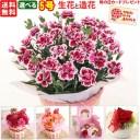 遅れてごめんね母の日 カーネーション5号選べる生花と造花