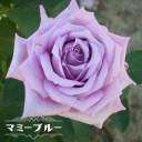 【バラ苗】 マミーブルー ( デルバール ) (Del) 国産苗 大苗 6号ポット苗 四季咲き 青紫色 バラ 苗 薔薇