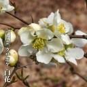 クサボケ 白花 3.5号ポット苗 【ハナヒロバリュー】