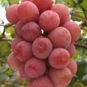 ぶどう農家おすすめのブドウの苗木販売店・専門店一覧【まとめ】 268