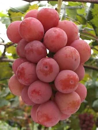 ぶどう農家おすすめのブドウの苗木販売店・専門店一覧【まとめ】 175