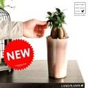 NEW!! がじゅまる モーブ色 アンティーク風ポットに植えた ガジュマル カジュマル ガジュマロ