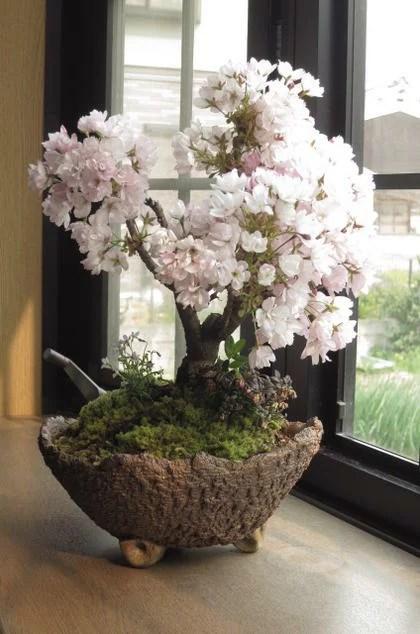 身近にさくらのお花見 桜盆栽でお祝い2021年4月に開花お祝い贈り物に桜盆栽 自