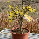 オウバイ黄梅 梅盆栽 黄色の小さいお花が 2021年二月頃に開花します