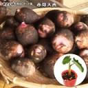さといも 赤芽大吉 芽出しポット苗 里芋 サトイモ