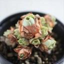 多肉植物 hmグリーノビア ドドランタリス 多肉植物 グリーノビア 6cmポット