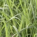 サッパリとしたレモンの様なハーブの香り。レモングラス(Lemongrass)10ml天然100%のエッセンシャルオイル(精油)(手作り石鹸 香水 ..