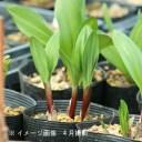 (1ポット)ギョウジャニンニク 10.5cmポット3株植え苗 山菜苗/耐寒性多年草/アイヌネギ