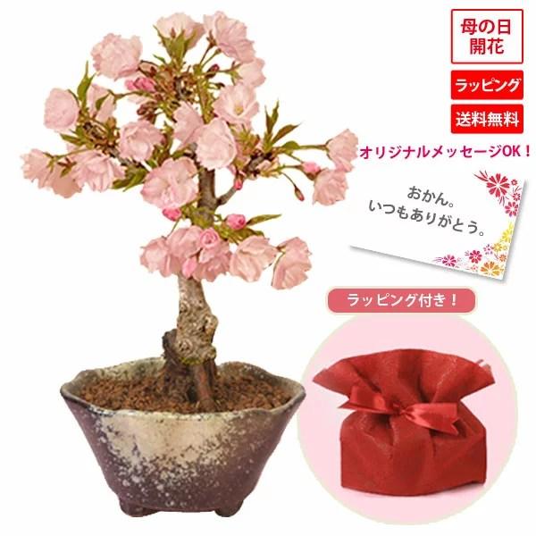 【母の日 プレゼント】◇楽天1位◇桜盆栽:鉢が選べる母の日開花桜* 【送料無料】【ラッピング付】【さ