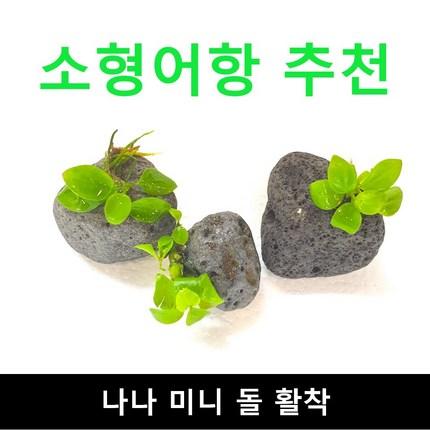 (소형어항 추천) 나나 미니돌 활착 / 수초몰 초보자수초 자연수초 활착수초