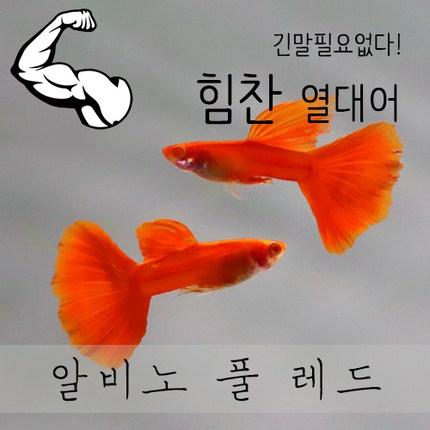 [힘찬열대어] 알비노 풀 레드 구피 [숫1 암2 준성어], 1세트