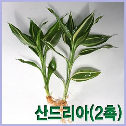 산드리아 (2촉) 인기수초 아름다운수초 초보용수초 수초 수아쿠아 초보수초, 1개