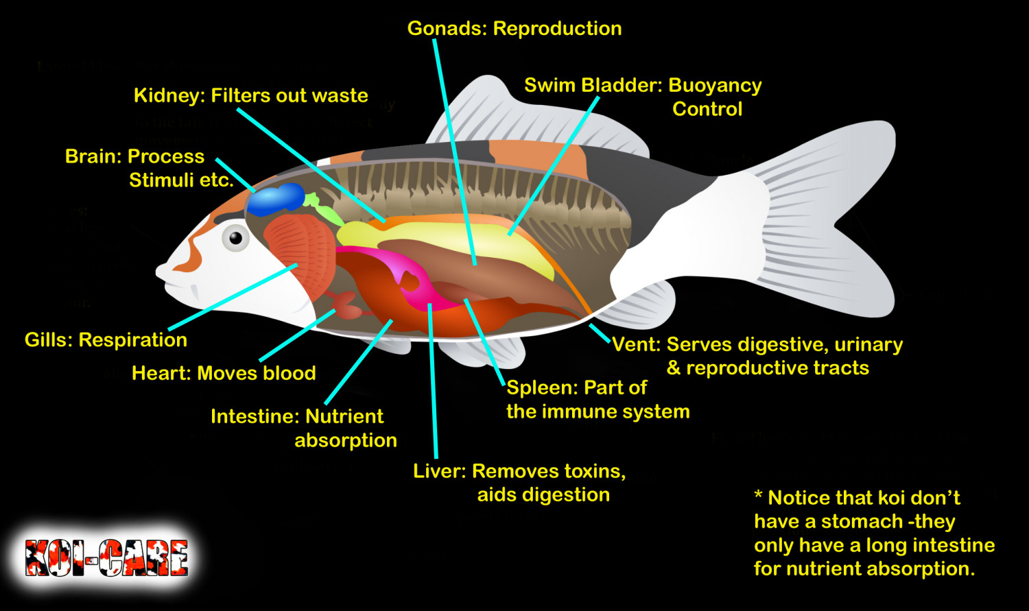 hight resolution of internal organs of a koi infographic