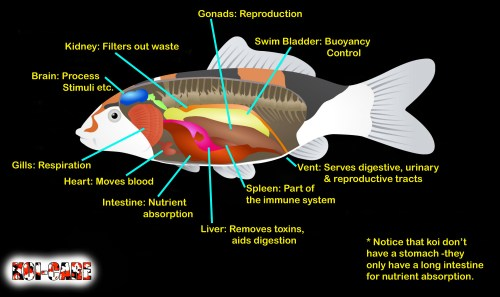 small resolution of internal organs of a koi infographic
