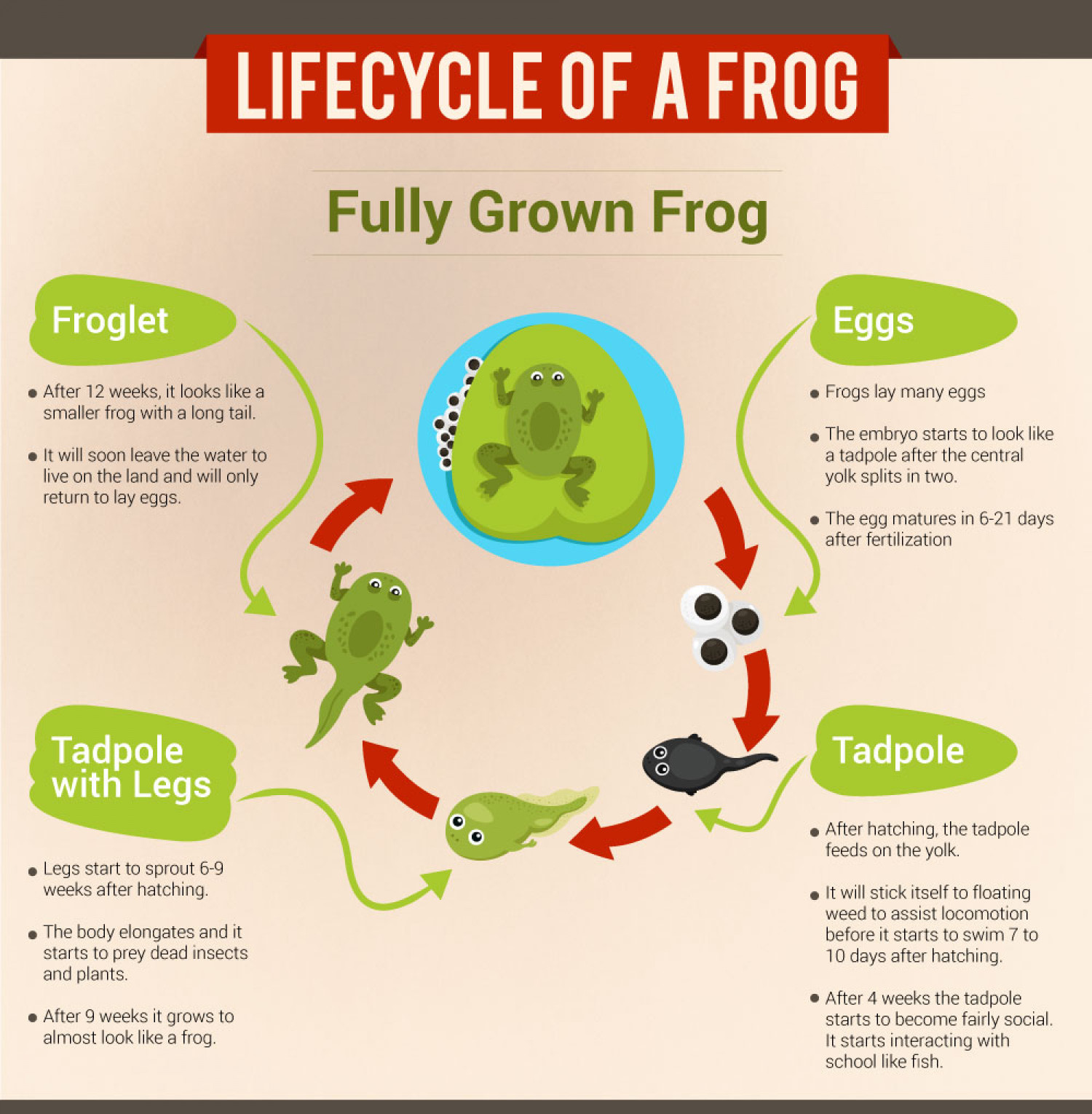 Image result for life cycle of a frog