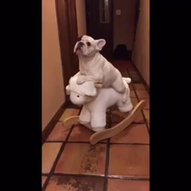 french bulldog rides rocking horse | jukin media inc
