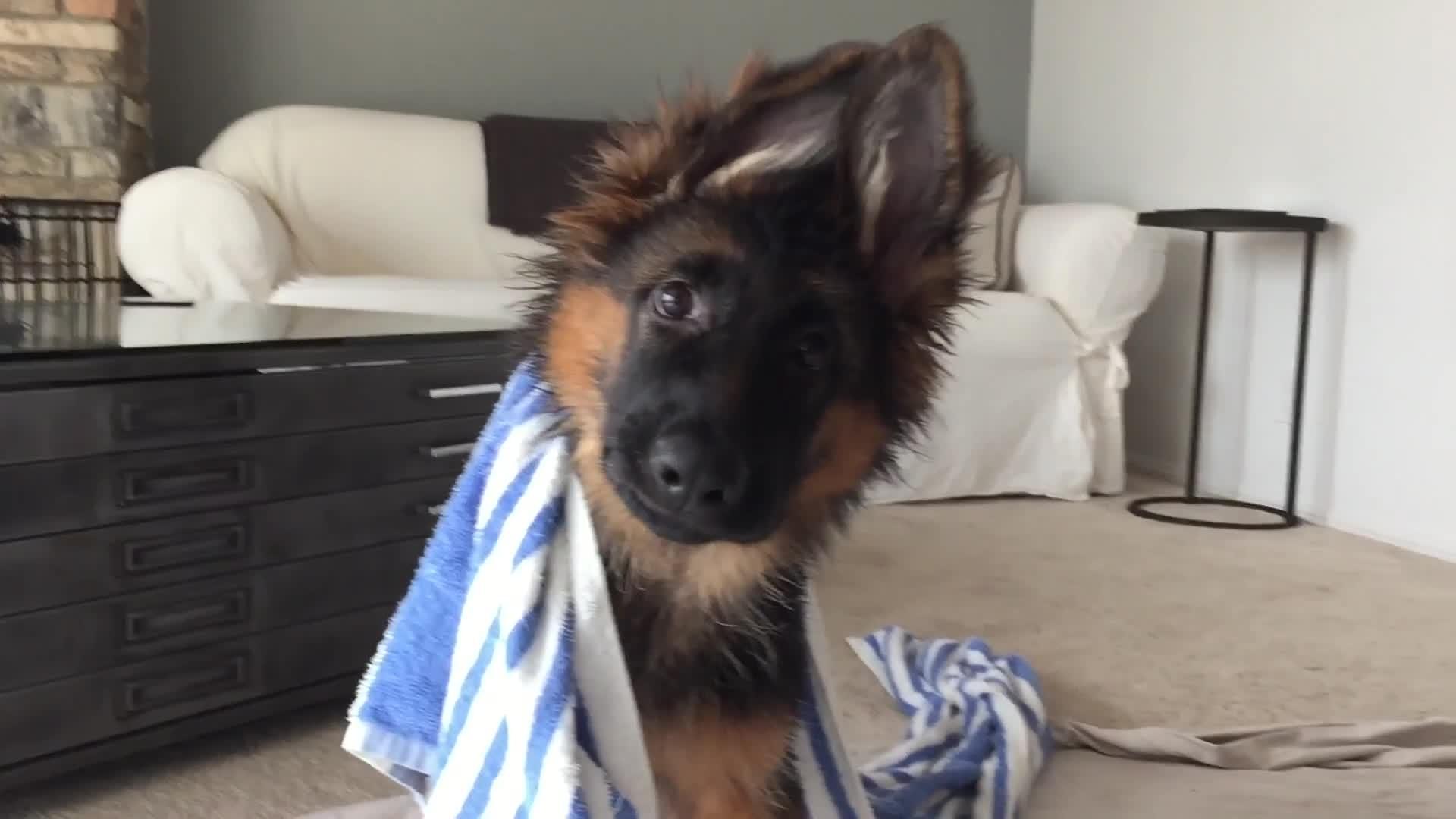 Cute Live Wallpaper App German Shepherd Puppy Tilts Head Jukin Media Inc