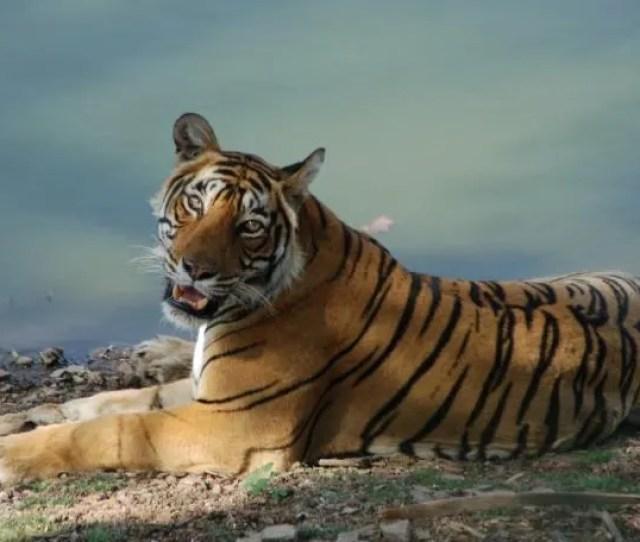 The Biggest Trend In Safaris Tigers