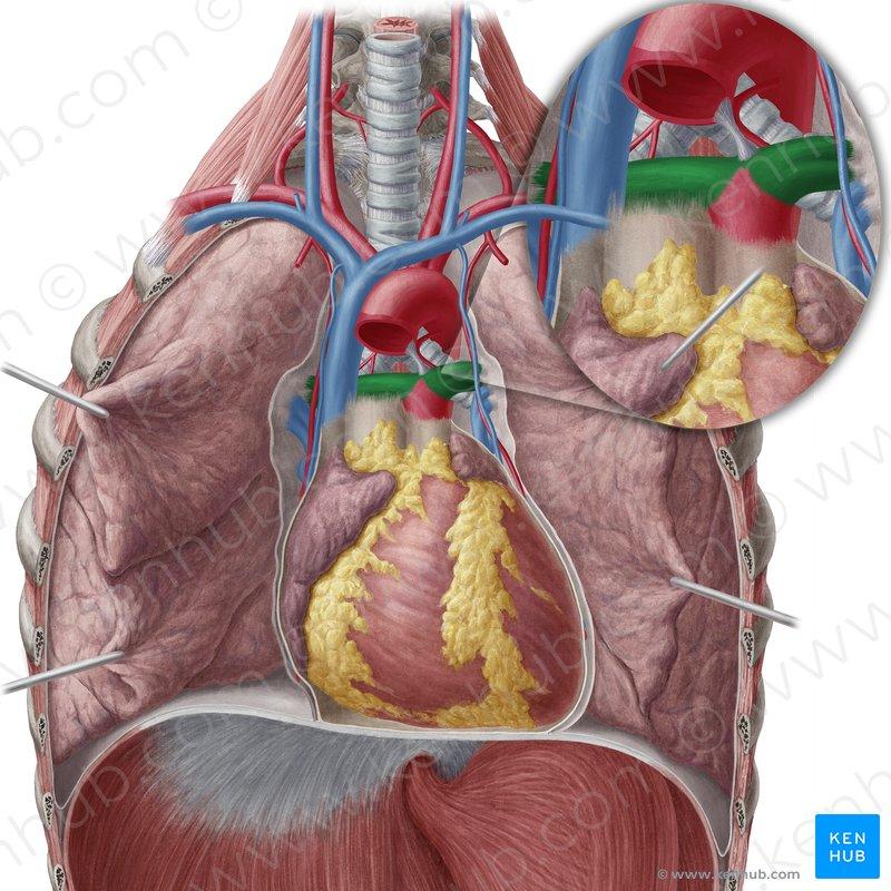 vascular anatomy diagram lower c bus wiring 2 pulmonary arteries and veins function kenhub artery arteria pulmonalis image yousun koh