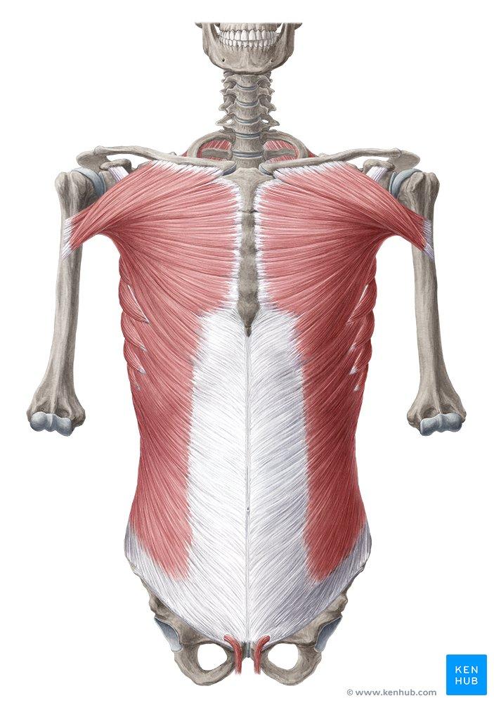 Abdominal Regions - Anatomy, Landmarks & Contents | Kenhub