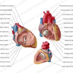 Heart Diagram Coronary Sinus 1989 Honda Civic Hatchback Wiring Pictures Right Atrium And Ventricle Anatomy