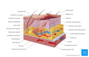 Integumentary System Parts: Quizzes and Diagrams | Kenhub