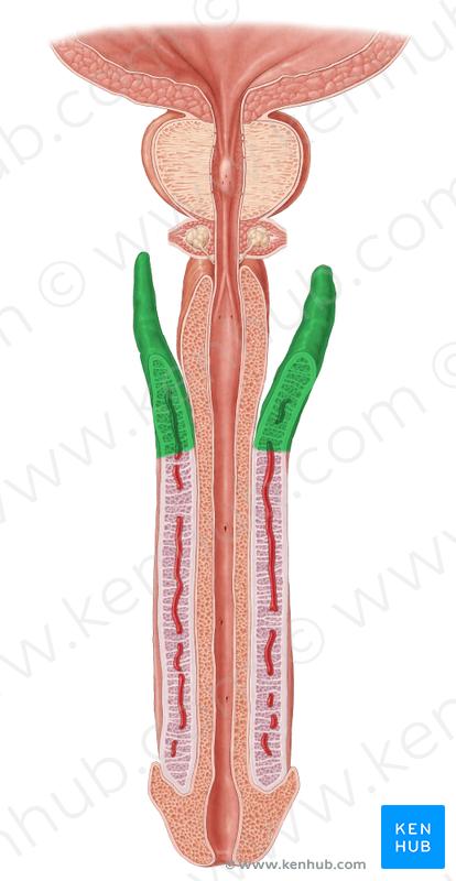 Anatomy Male Lower Abdomen