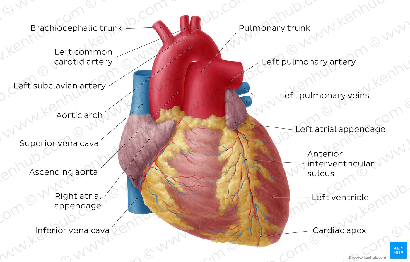 anterior heart diagram unlabeled diagramming sentences with conjunctions pictures view of the anatomy kenhub overview