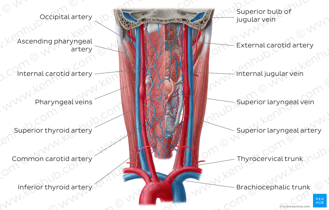 hight resolution of atlas blood vessels of the pharynx