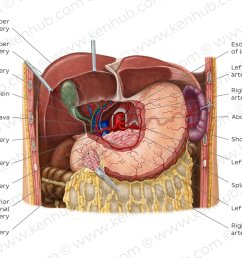 arteries of the stomach the liver and the spleen overview [ 1400 x 896 Pixel ]