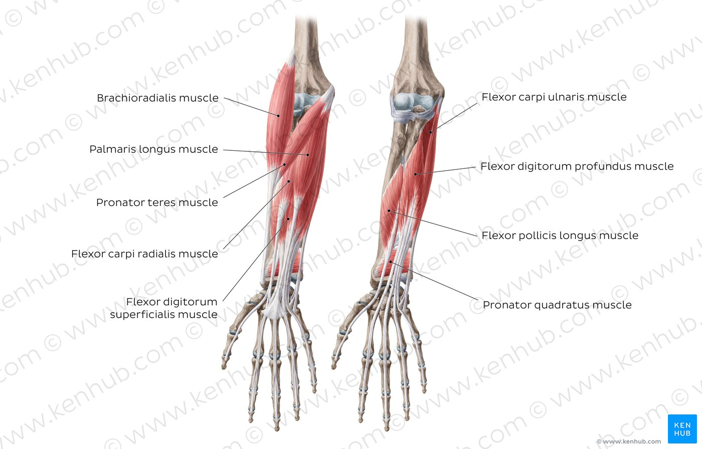 hight resolution of flexors of the forearm overview
